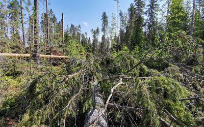 Petäjäveden metsillä on takana ääri-ilmiöiden vuosi   (Juttu vain tilaajille)