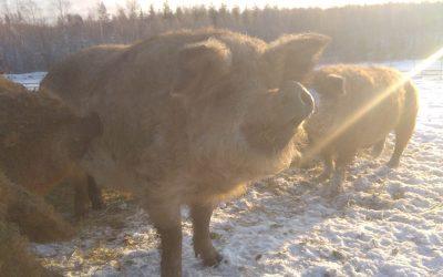 Myynti loppui kuin seinään – Kohonen Farmilta voi ostaa suoraan lihaa